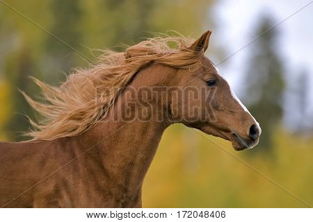 Arabian chestnut Stallion galloping portrait close up