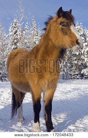Welsh Pony standing on snow at winter pasture