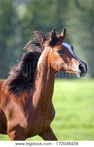 Bay Arabian Foal running in summer meadow.