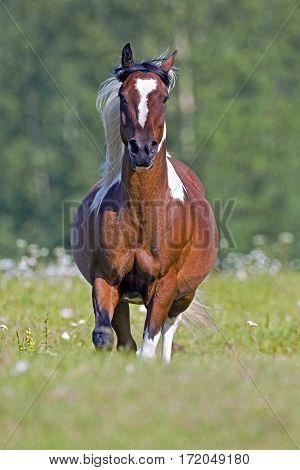 Beautiful Pinto Arabian Gelding galloping on meadow.