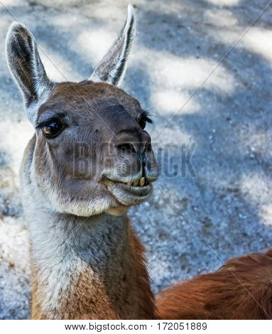 Muzzle of llama close up, animal in zoo