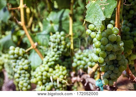 Grape clusters growing white vine grapes vineyard
