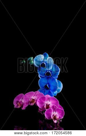 Orchid  Pink  And Blue Flower