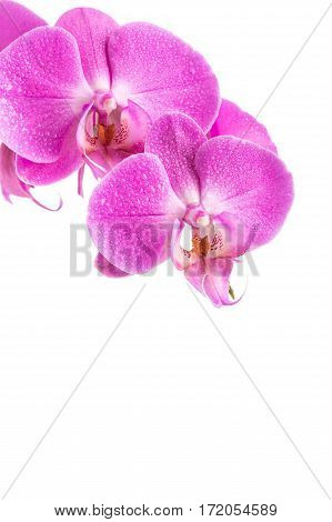 Orchid  Pink Flower With Water Drops