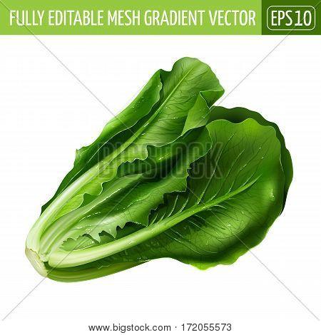 Lettuce isolated realistic illustration on white background.