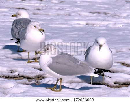 Gulls on a snow on a shore of the Lake Ontario in Toronto Canada February 16 2017