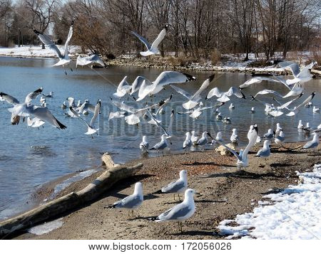 Flock of gulls on a shore of the Lake Ontario in Toronto Canada February 16 2017