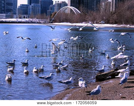 The flock of gulls on a shore of the Lake Ontario in Toronto Canada February 16 2017