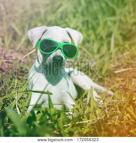 Dog Wear Sungalsses Sit on Grass