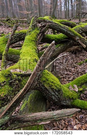 Moss grows on the darker side of trees