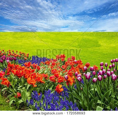 Flowers and green meadow, tulip field blue sky