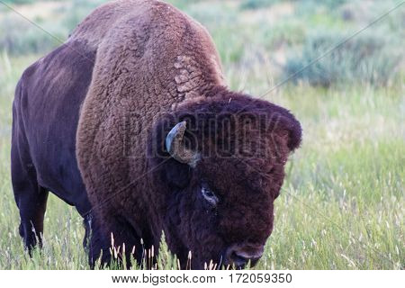 An American Bison meandering on the prairie slowly approaching.
