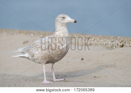 Glaucous Gull (Larus hyperboreus) in 3rd Winter Plumage standing on a Pier in a Harbour