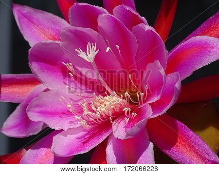 pink cactus flower wide open in the sun