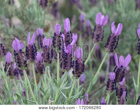 purple lavender blossoming in the springtime sun