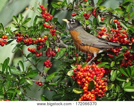 a robin hunting for ripe berries to eat