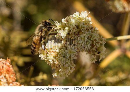 Honey bee in dappled light on flower