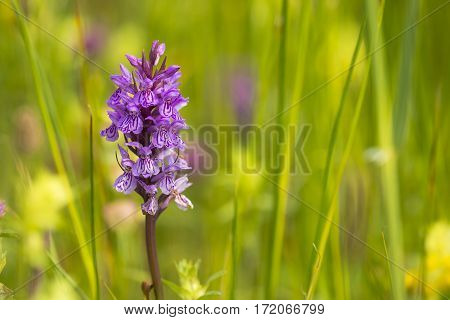 Southern Marsh Orchid (Dactylorhiza praetermissa) flowering in a Meadow