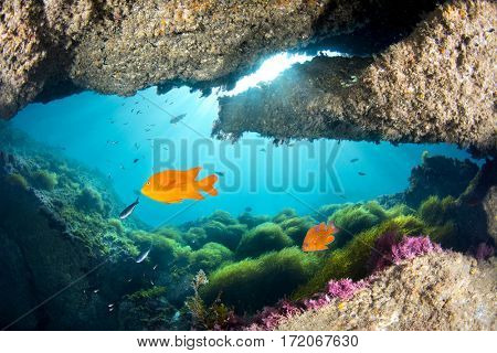 Bright orange garibaldi swims past a cavern opening with green sea grass swaying in the blue water at Catalina Island in California