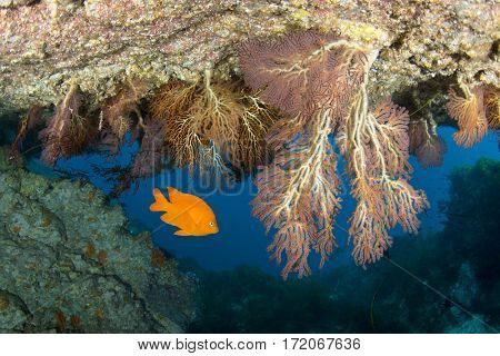 A bright orange garibaldi swims in a cavern with hanging sea fans swaying in the blue water at Sea Fan Grotto, Catalina Island in California