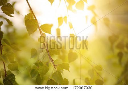 Sunny young green spring leaves of birch tree, natural eco seasonal background with copy space