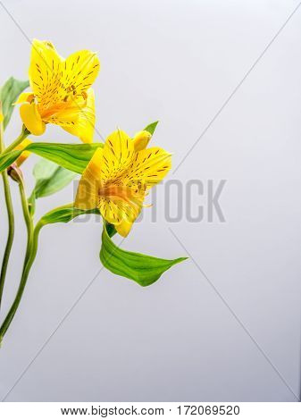 Alstroemeria on plain white background copy space