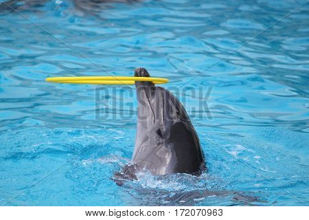 Dolphins swiming in pool and playing with toy. Show in dolphinarium