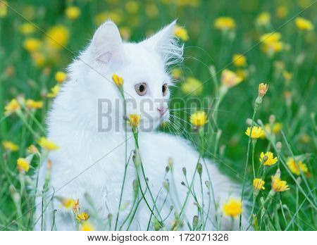 portrait of a cute white fluffy cat in the meadow with flowers.