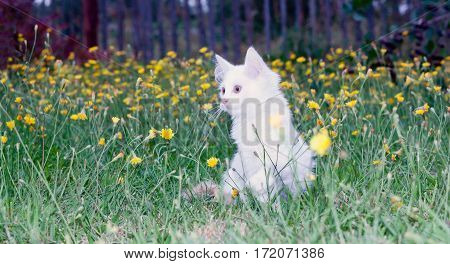 cute white fluffy cat on the meadow with dandelions.toned