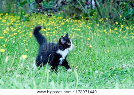 clumsy little kitten on the grass with dandelions.