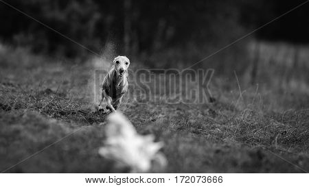 Coursing. Small Dog Italian Greyhound pursues bait in the field. Dog running in the tshirt