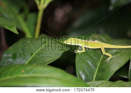American green anole lizard aka Anolis carolinensis  or American chameleon. green anole on a green leaf. chameleon lizard in jungle.