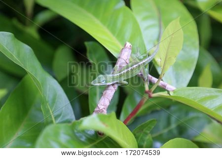 Carolina anole Lizard aka Anolis carolinensis. Beautiful Green Alonlis Chameleon looks for bugs to eat on his favorite plant.