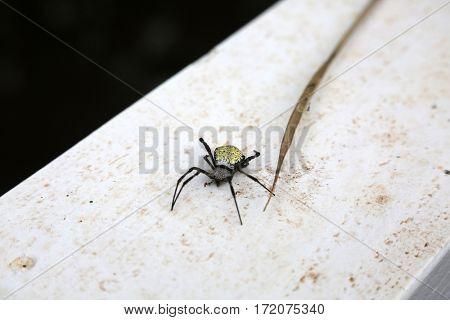 Orb-weaver spiders aka araneids  and Araneidae Orb weaver spider on Maui Hawaii