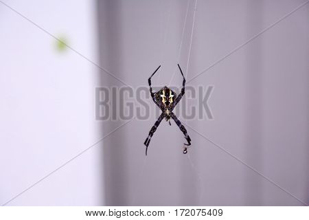 Orb-weaver spiders aka araneids  and Araneidae Orb weaver spider on Maui Hawaii