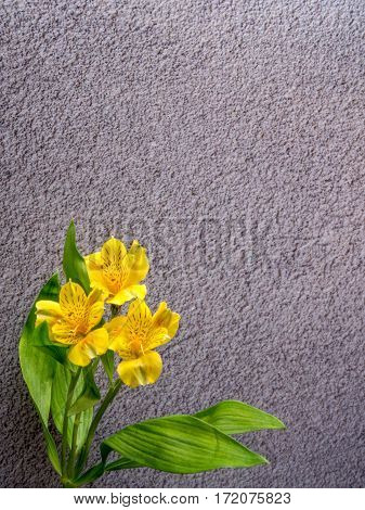 alstroemeria on grey concrete background portrait orientationa