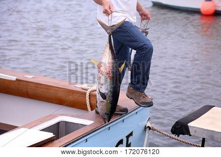 yellowfin tuna aka Thunnus albacares. Fresh caught wild Yellow Fin Tuna. Caught in the waters of Maui Hawaii.