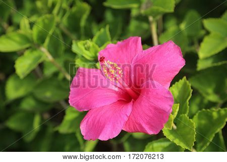 Hibiscus flower growing on Maui Hawaii
