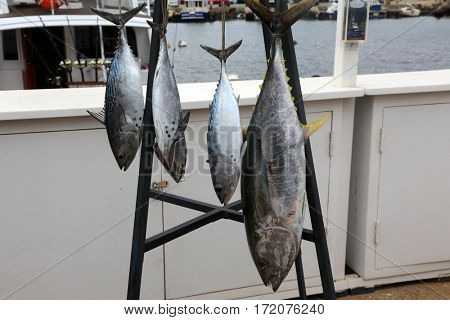 The skipjack tuna, Katsuwonus pelamis, is a medium-sized perciform fish in the tuna family, Scombridae. AKA aku, arctic bonito, mushmouth, oceanic bonito, striped tuna, or victor fish.