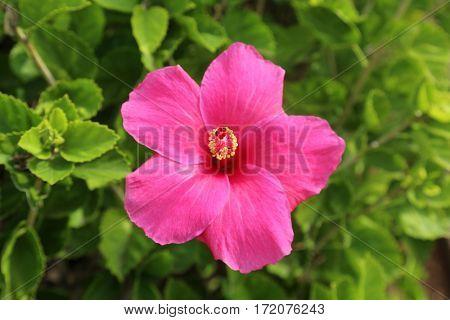 Hibiscus flower growing on Maui Hawaii
