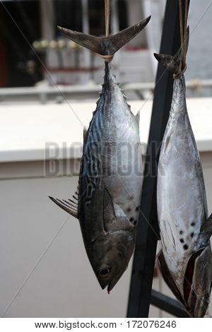 The skipjack tuna, Katsuwonus pelamis, is a medium-sized perciform fish in the tuna family, Scombridae. AKA aku, arctic bonito, mushmouth, oceanic bonito, striped tuna, or victor fish.