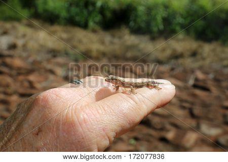 gecko. baby Hawaiian gecko. maui gecko. baby lizard