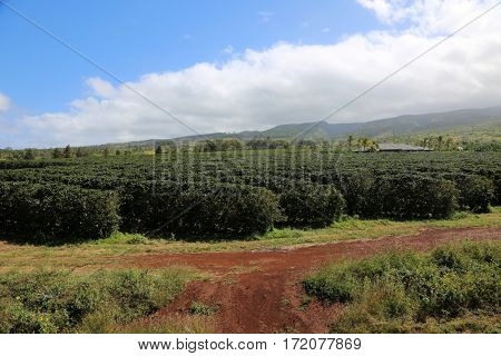 coffee plantation. coffee farm. coffee plants being grown on Maui Hawaii.