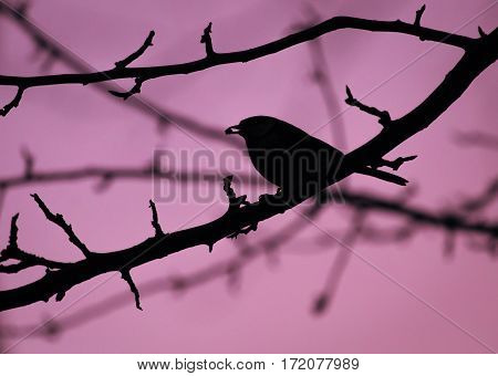 Silhouette of a bird (great tit parus major) sitting on tree branch eating a seed. Monochromatic in pink or light purple color