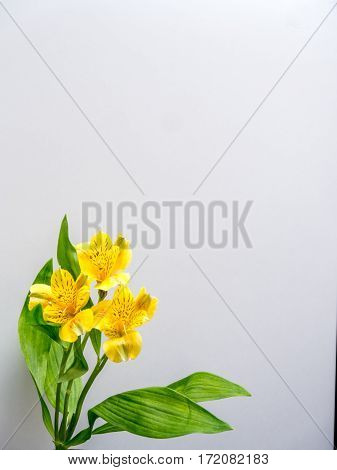 Alstroemeria on plain white background portrait orientation
