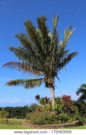 Coconuts. Coconut Palm Tree. coconut palm. palm tree