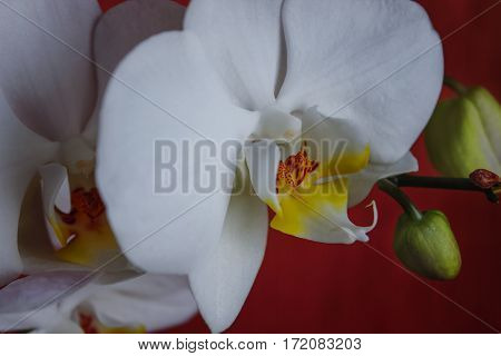 large white orchid flowers on a brown background.