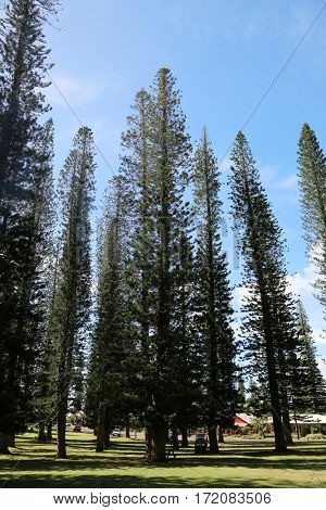 Norfolk Pine aka Araucaria Heterophlla. Star Pine or Triangle Tree and Living Christmas Tree on the island of Lani in Hawaii.