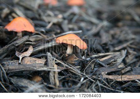 orange mushroom. unidentified orange mushrooms growing in beauty bark.