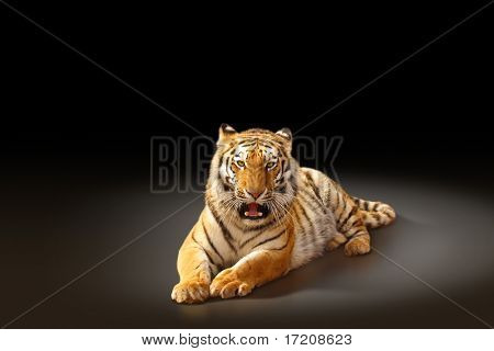 Aggressive tiger laying on dark background, with copy space